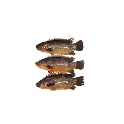 Koi fish arb