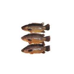 Koi fish RHF